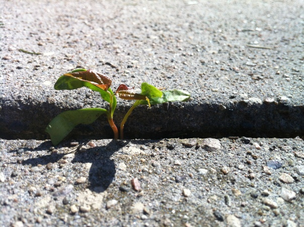 sidewalk cracks may be larger than they appear - especially if you are a norway maple seed