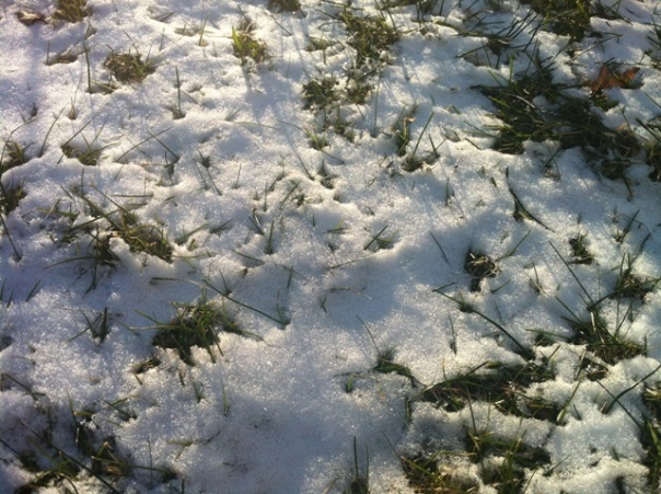 IMG_1377 - Grass Growing Through Snow - Jan 2013
