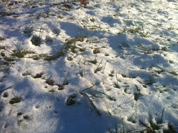 IMG_1378 Grass Growing Through Snow - Jan 2013