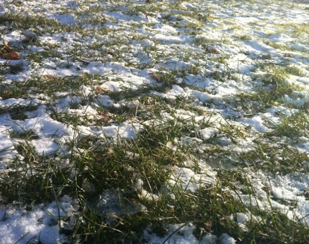 IMG_1387 Grass Growing Through Snow - Jan 2013