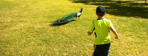 boy chasing peacock