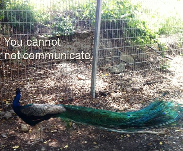 You Cannot Not Communicate - Peacock Facing Fence